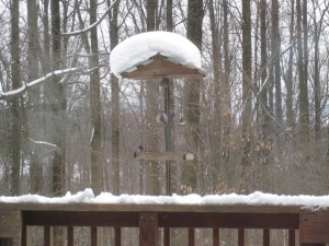 Bluebirds visiting the feeder in February